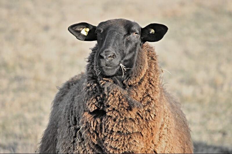 Lammekød Fyn