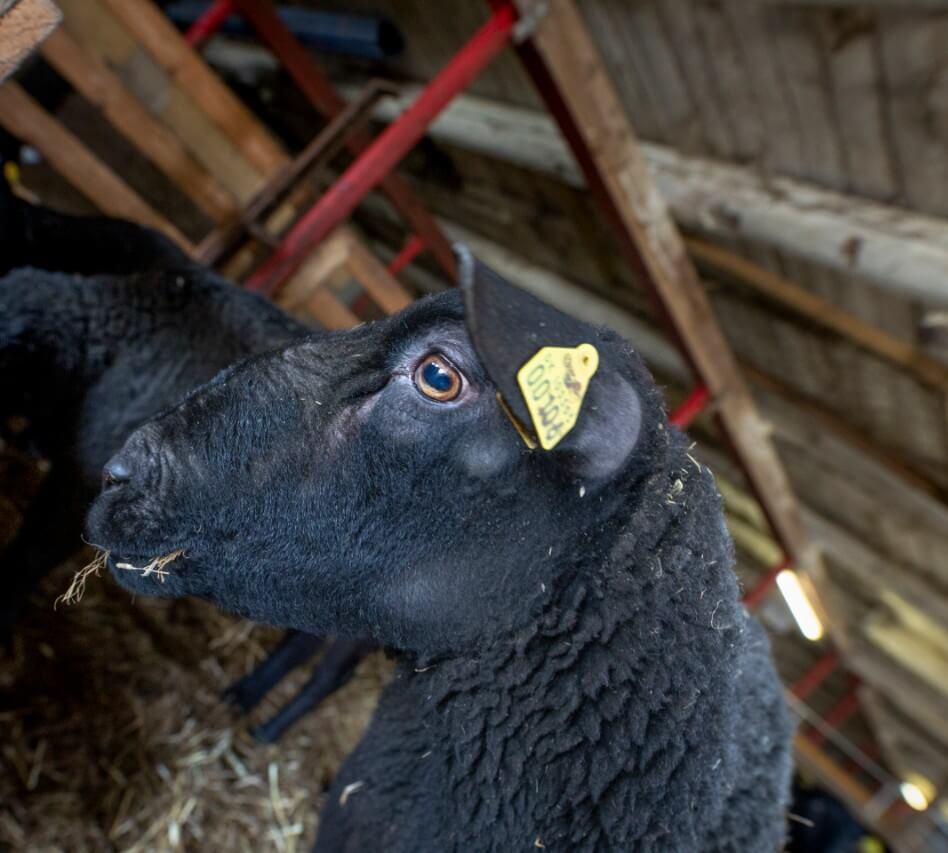 Lammekød, Gårdbutikken Birkholm